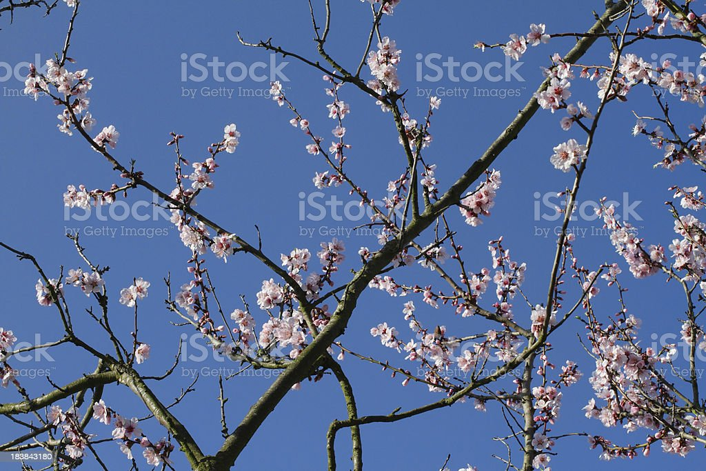 Pink cherry blossom against spring blue sky stock photo