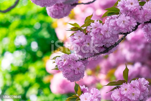 1135260918 istock photo pink cherry blossom on the twig 1208228645