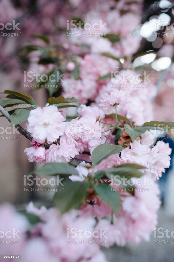 Pink cherry blossom petals on ground royalty-free stock photo