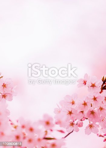 Pink Cherry Blossom in Spring