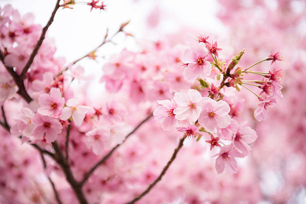Pink Cherry blossom stock photo