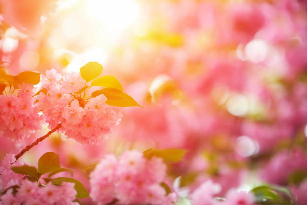 pink cherry blossom - sakura background stock photos and pictures