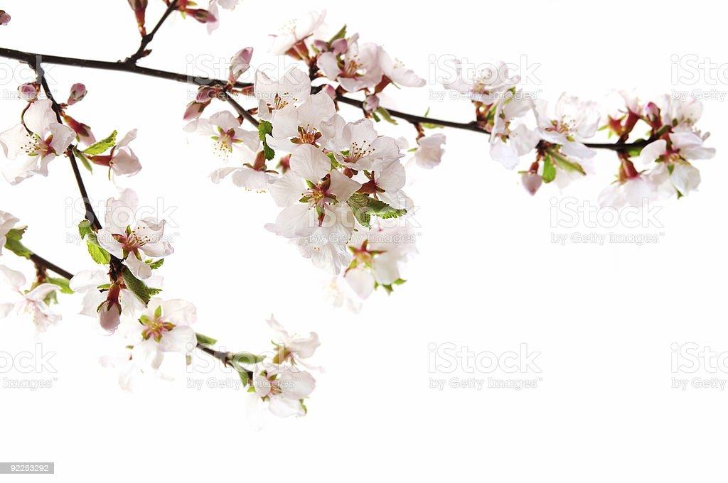 Pink cherry blossom – Foto