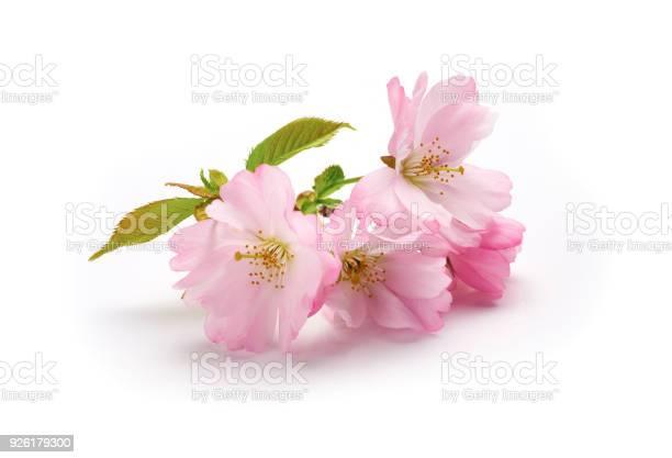 Pink cherry blossom picture id926179300?b=1&k=6&m=926179300&s=612x612&h=dl50tcpkokx ohspo 3j9rxxiym4m alsd2npxi6dqi=