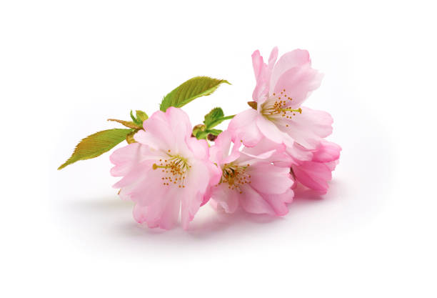 Pink cherry blossom picture id926179300?b=1&k=6&m=926179300&s=612x612&w=0&h=nr9vkxeyrrtvjklc3lvwhhghyphoei8hjvjbh2wlndq=