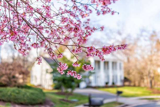 Pink cherry blossom sakura tree flowers on branches in foreground in spring in northern Virginia with bokeh blurry background of house in neighborhood Pink cherry blossom sakura tree flowers on branches in foreground in spring in northern Virginia with bokeh blurry background of house in neighborhood springtime stock pictures, royalty-free photos & images