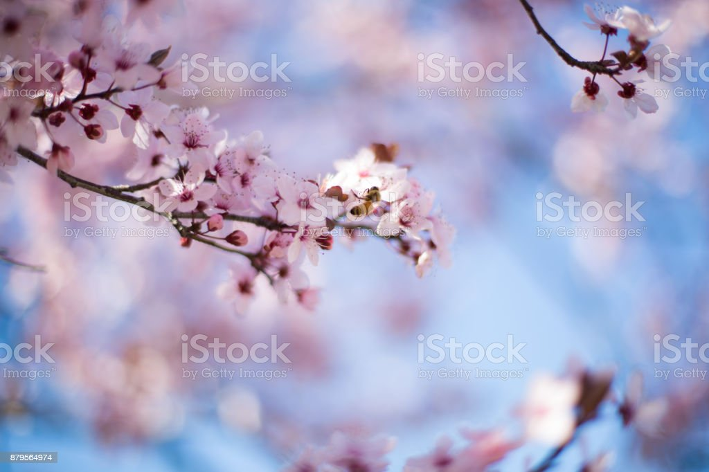Pink Cherry Blossom tree branch in Spring with bee stock photo