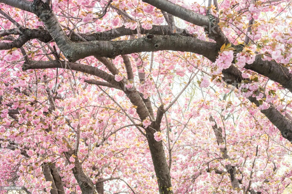 Pink Cherry Blossom Trees with Flowers in Bloom Central Park royalty-free stock photo