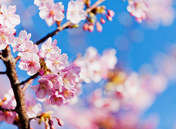 Pink Cherry Blossoms against Clear Blue Sky stock photo