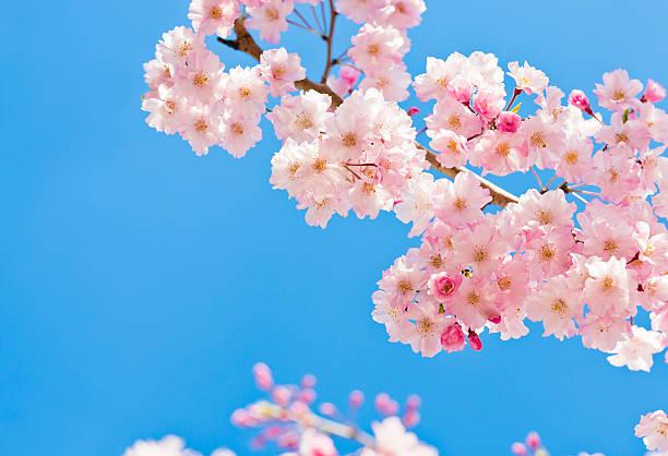 flores de cereja rosa contra claro céu azul - cherry blossoms imagens e fotografias de stock