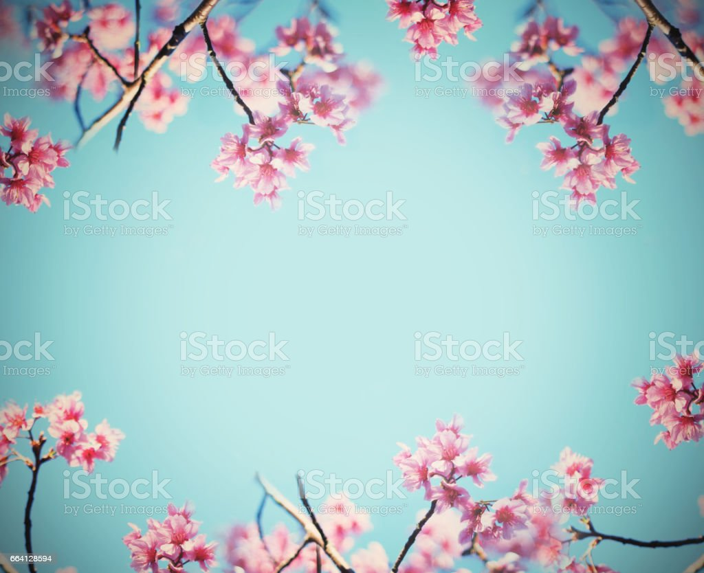 Pink cherry blossoms flower in full bloom over blue sky, vintage filter effect. Spring background foto stock royalty-free