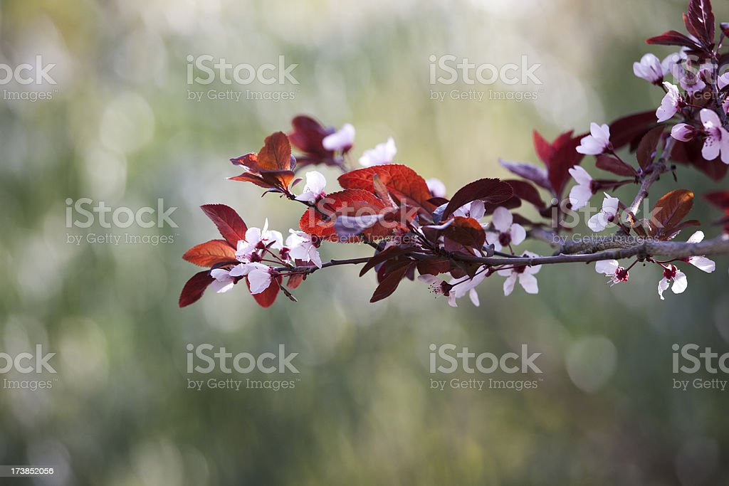 Pink Cherry Blossoms, Flower, New-Life, Spring, Shallow Depth-of-Field, Copyspace royalty-free stock photo