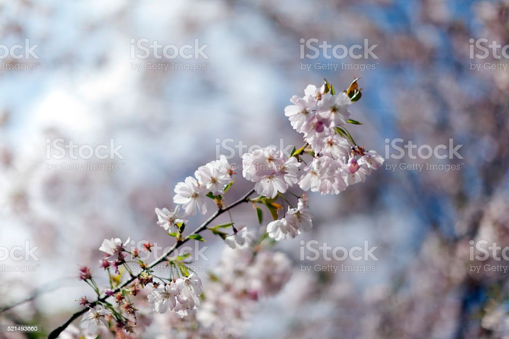 Pink cherry blossoms in full bloom against a blue sky stock photo
