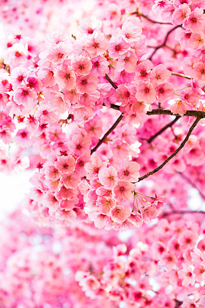 Pink Cherry Blossoms in Full Bloom stock photo