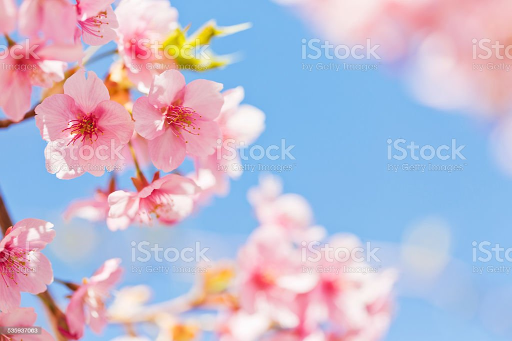 Pink Cherry Blossoms in Spring stock photo