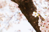 istock Pink cherry blossoms in spring sunlight 1311189625