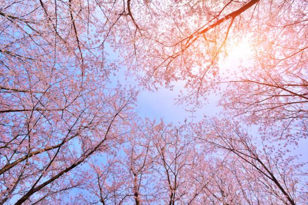 pink cherry blossoms lush open season - cherry blossoms imagens e fotografias de stock