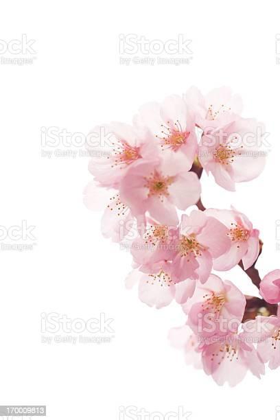 Pink cherry blossoms on white picture id170009813?b=1&k=6&m=170009813&s=612x612&h=k3tosnjhne0pfeckp2hbozcjymlc3tiocvzamenvk o=