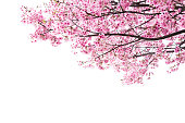 ピンクの桜の花の背景に白