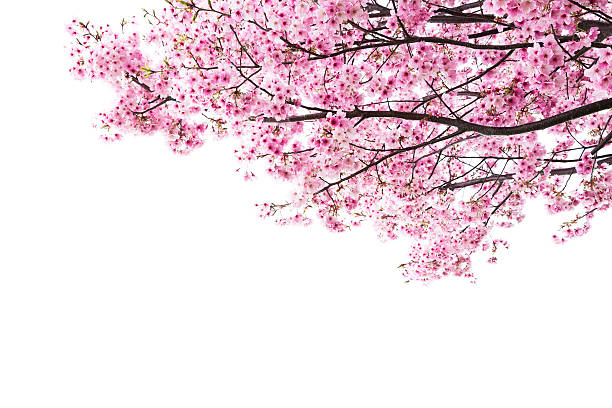 pink cherry blossoms on white - blossom stock pictures, royalty-free photos & images