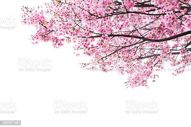 Photo of Pink cherry blossoms on white