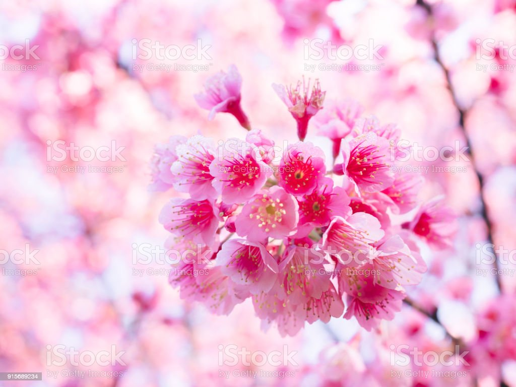 Pink Cherry Blossoms Or Sakura Flower Are Blossoming