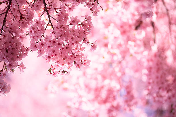 pink cherry blossoms - blossom stock pictures, royalty-free photos & images
