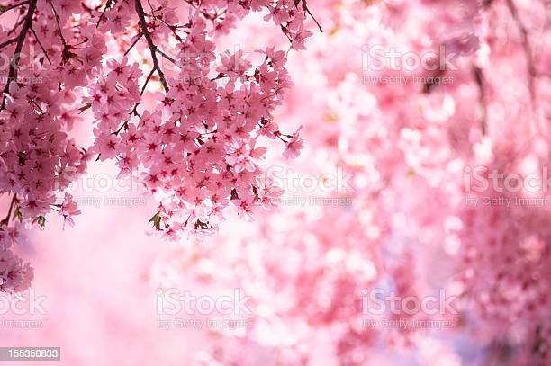 ピンクの桜 - アジア大陸のストックフォトや画像を多数ご用意