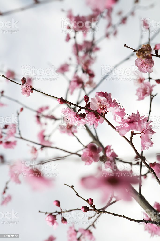 Pink Cherry Blossoms royalty-free stock photo