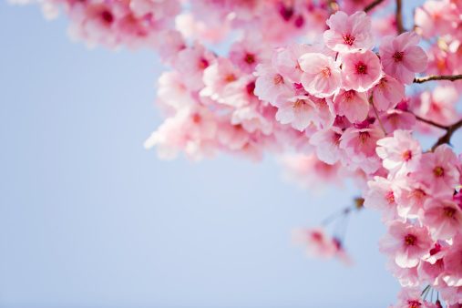 cherry blossoms against the clear sky