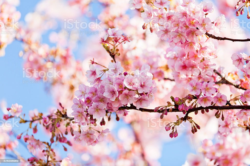 Pink Cherry Blossoms Stock Photo - Download Image Now - iStock