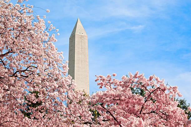 flores de cereja rosa - cherry blossoms imagens e fotografias de stock