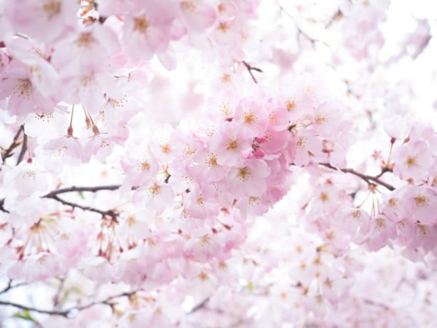 ピンクの桜 - 桜 ストックフォトと画像