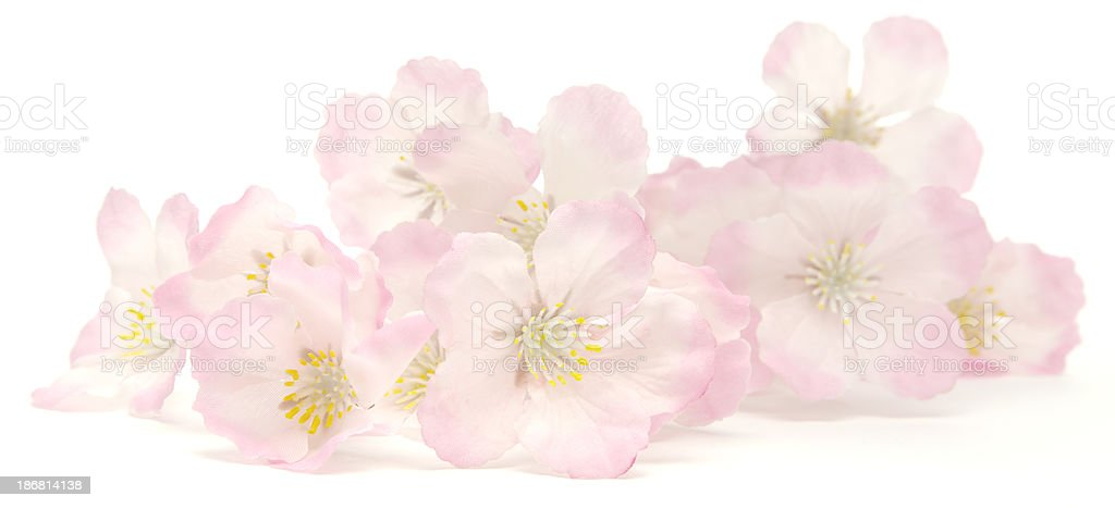 Pink cherry blossoms resting on white background royalty-free stock photo