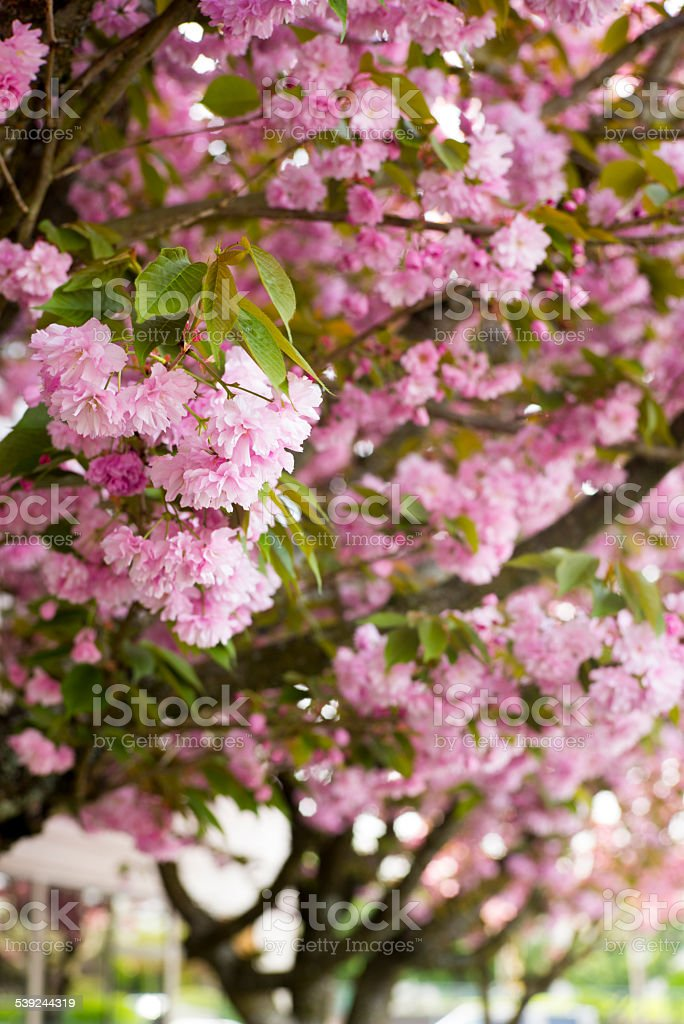 Pink Cherry Blossoms with selective focus on foreground royalty-free stock photo