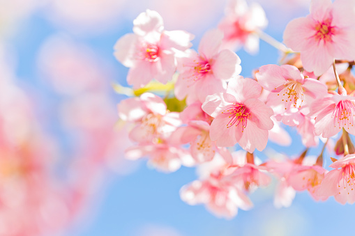 Pink Cherry Blossoms With Sunlight