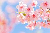 ピンクの桜、自然
