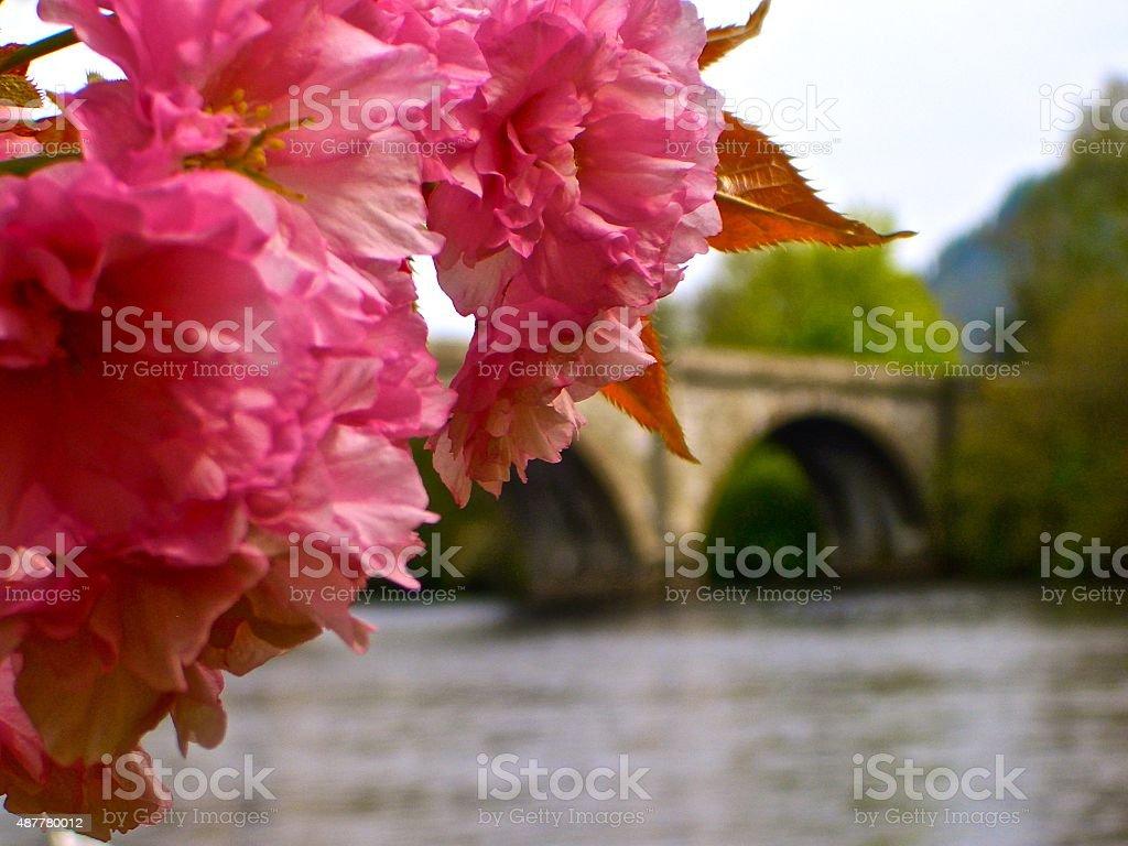 Pink cherry blossoms with Telford's Bridge River Tay Dunkeld Scotland stock photo