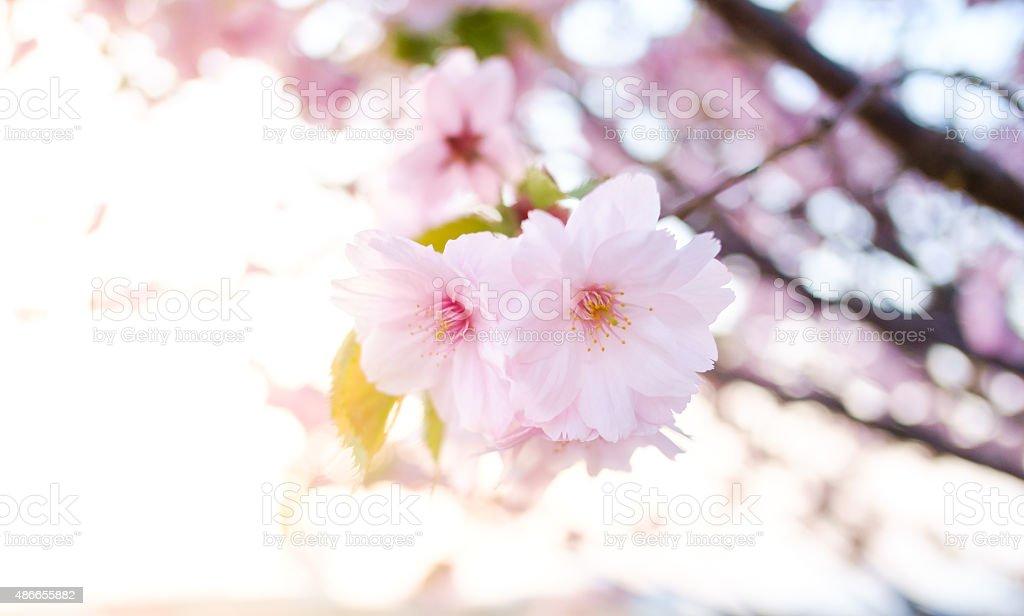pink cherry blossom-sakura flower blooming in  Japan stock photo