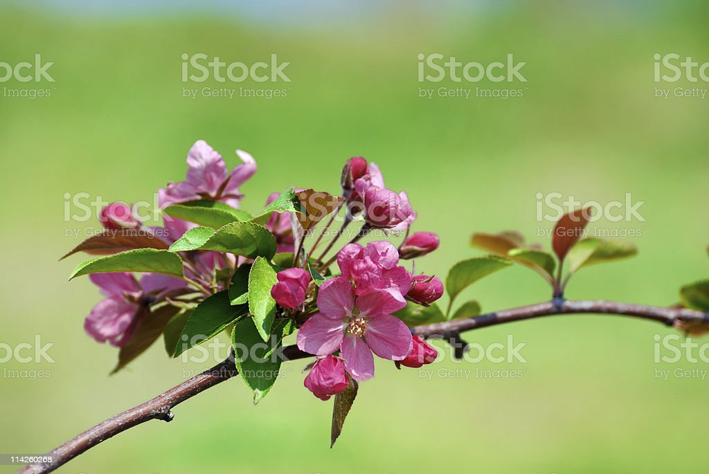 pink cherry flower blossoms on green stock photo