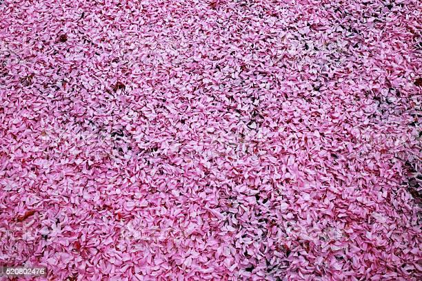 Pink cherry flower petals fallen on the ground picture id520802476?b=1&k=6&m=520802476&s=612x612&h=l1l9v1uqb1l7d6ulmvdbznk3dji kdel8yd2zwharzc=
