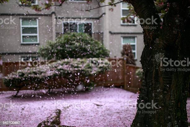 Pink cherry flower petals falling like snowing picture id542700992?b=1&k=6&m=542700992&s=612x612&h=dkps4px080equy5l7c6jlygkfkun ngsxlctnh7v aq=