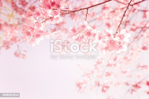beautiful vintage sakura flower (cherry blossom) in spring. vintage pink color tone