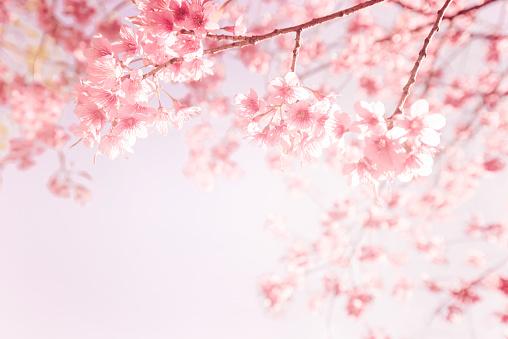 pink cherry flower