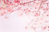 ピンクの桜の花