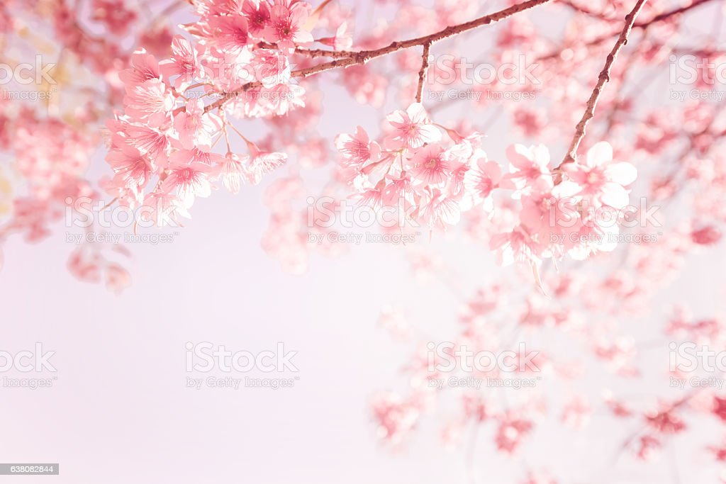 pink cherry flower stock photo
