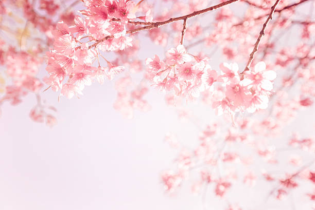 pink cherry flower - blossom stock pictures, royalty-free photos & images