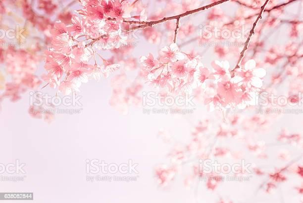 ピンクの桜の花 - やわらかのストックフォトや画像を多数ご用意