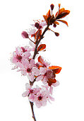 Cherry flowers blooming on white background \nWhite background in studio shot...\n\nPollen emerging from anthers...