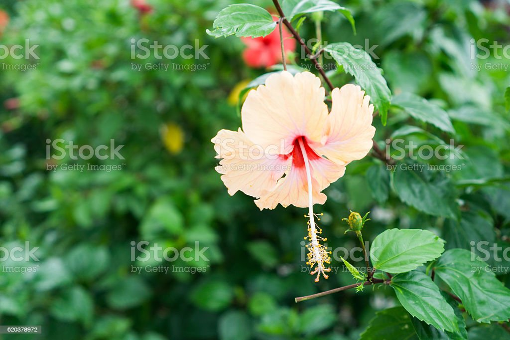 Pink Chinese Rose, Shoe flower or a flower of pink hibiscus foto de stock royalty-free